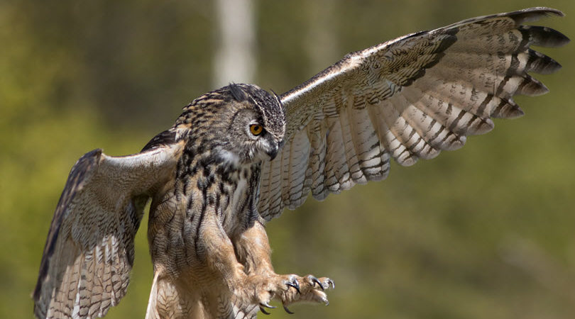 bigstock-owl-attack-minimized-220464661